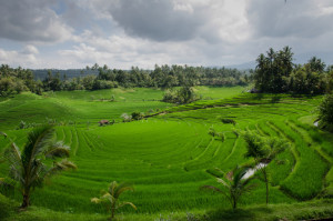 Rice Growing: rice has been blamed for weight gain due to its calorie loading - can Coconut Oil reduce the load?