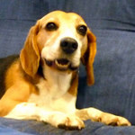 Milk Relief Soap Jimmy The Beagle
